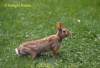 MA24-018a  Cottontail Rabbit  - Sylvilagus floridanus