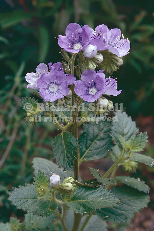 PHACELIA GRANDIFLORA, LARGE-FLOWERED PHACELIA, CALIFORNIA NATIVE, ANNUAL