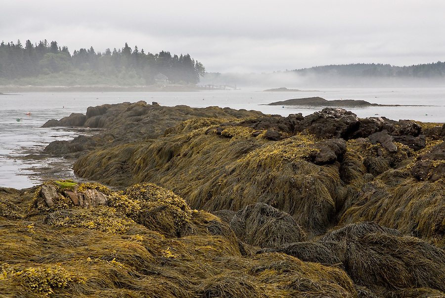 Low tide reveals a thick bed of seaweed on Green Island, near Southport, Maine.