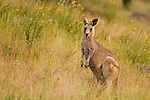 Eastern Grey Kangaroo (Macropus giganteus) joey in grassland, Mount Taylor Nature Reserve, Canberra, Australian Capital Territory, Australia