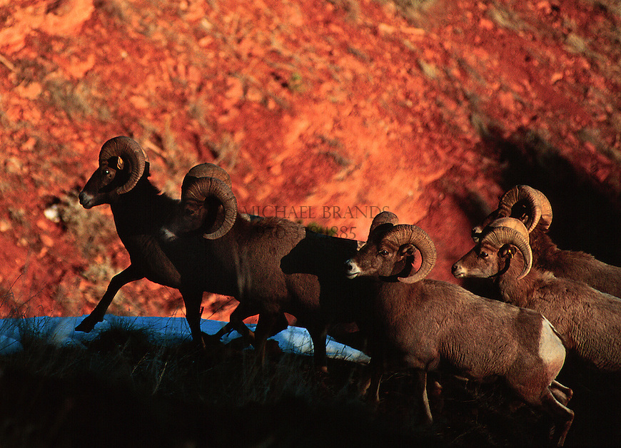 Bighorn sheep against red clay hills near the Frying Pan River, Basalt, Colorado.© Michael Brands. 970-379-1885.