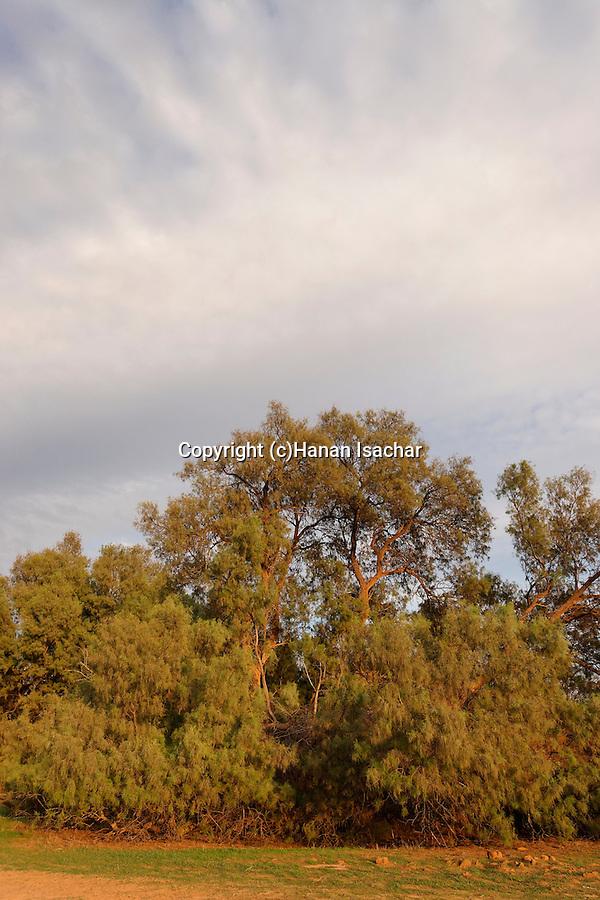 Israel, the Negev desert. Tamarisk trees (Tamarix Aphylla) in Wadi Besor