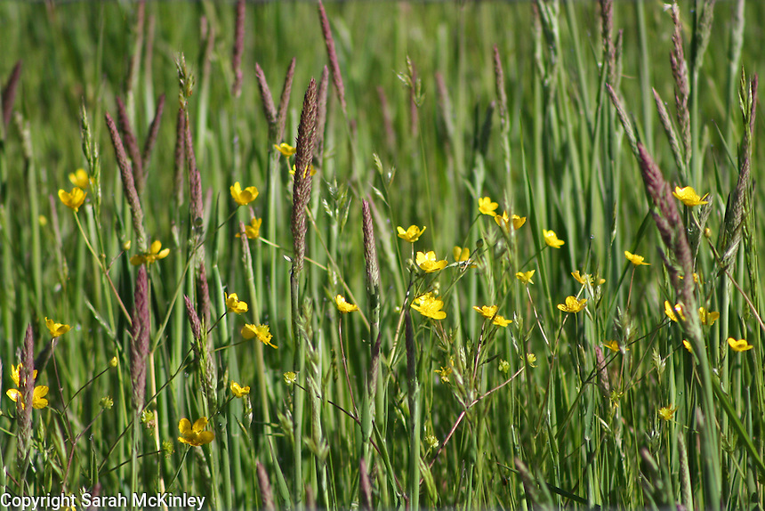 Buttercups growing in a field of young hay outside of Willits in Mendocino County in Northern California.