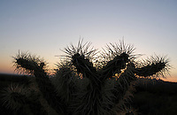 Apache Junction, Arizona. The Lost Dutchman State Park is located in the area of the Superstition Mountains in the Sonoran Desert, 40 miles east of Phoenix, Arizona. The park takes its name from a fabled lost gold mine. This photograph shows a Cholla cactus rising over the sunset at the Treasure Loop Trail in the Lost Dutchman State Park in Arizona. Photo by Eduardo Barraza © 2011