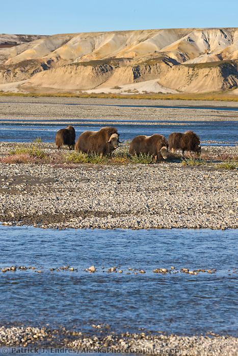 Muskox along the Sagavanirktok river and the Franklin Bluffs on the arctic coastal plains, arctic, Alaska.