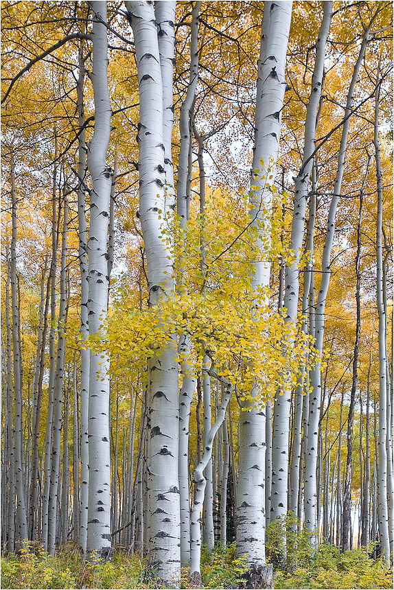 This Colorado Image comes from the San Juan Mountain Range. The leaves were gold and beautiful this trip, and beautiful pictures of Colorado were everywhere to be found.