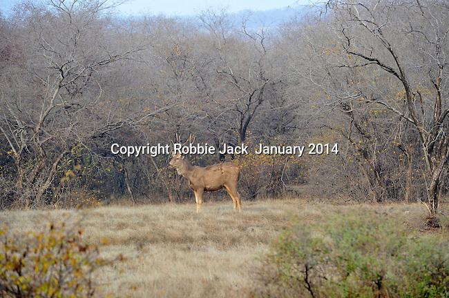 Sambar,Ranthambhore National Park; Rajasthan