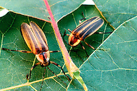 FIREFLIES (LIGHTNING BUGS).Photinus Pyralis. Top & Bottom Views, Not glowing..A firefly flashes when O2, breathed in through the abdominal tracheae, combines with the substance luciferin under the catalytic effect of the enzyme luciferase. The light is 90-98% efficient.