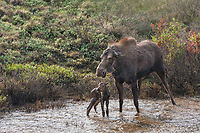 Cow moose and newly born calf stand in a tundra pond as wolves approach for an attack. Grant Creek wolf pack, Denali National Park, Alaska.