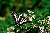 Pale Swallowtail or pallid swallowtail (Papilio eurymedon) butterfly on blackberry blossom.  Western Washington. Summer.