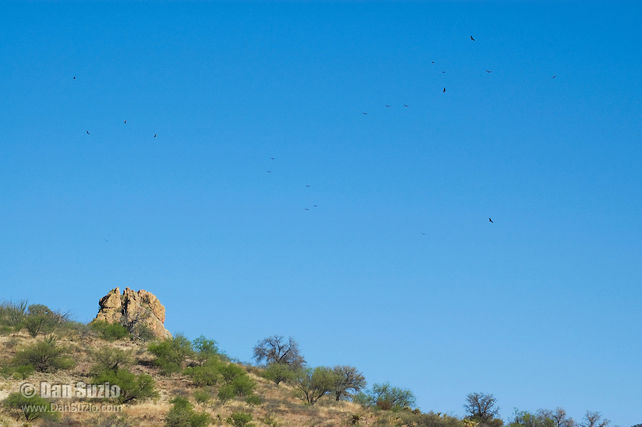 Turkey vultures, Cathartes aura, circle near Pena Blanca Lake, Coronado National Forest, Arizona
