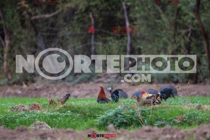 Gallos y gallinas  en la Yesca.