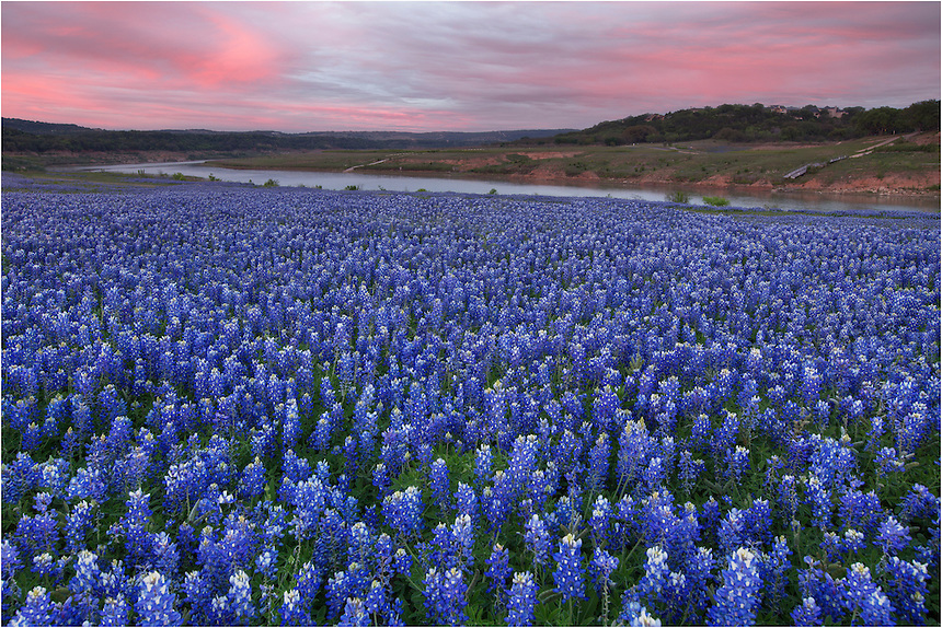 This bluebonnet image is at sunset at Turkey Bend. The skies facing east glow in the evening sunlight. Behind me, the skies were lighting up across a sea of bluebonnets.