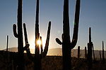 Starburst behind silhouetted saguaro (Carnegiea gigantea), Sabino Canyon Recreation Area, Coronado National Forest, Arizona