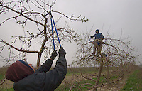 Workers prune apple trees in an orchard near Pataskala, Ohio, Thursday, April 5, 2007. Fruit growers in Ohio may lose as much as 90 percent of some crops, especially peaches.