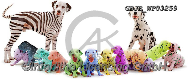 Kim, ANIMALS, REALISTISCHE TIERE, ANIMALES REALISTICOS, fondless, photos,+Colourful Dalmatian family.,colourful, dalmatian, family, patterns, shapes, dogs, pets, animals, puppies, pups, play, playful+, playing, families, stripes, spots, black-and-white, white background+++,GBJBWP03259,#a#, EVERYDAY