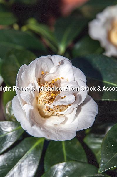 Showa-no-sakae Camellia
