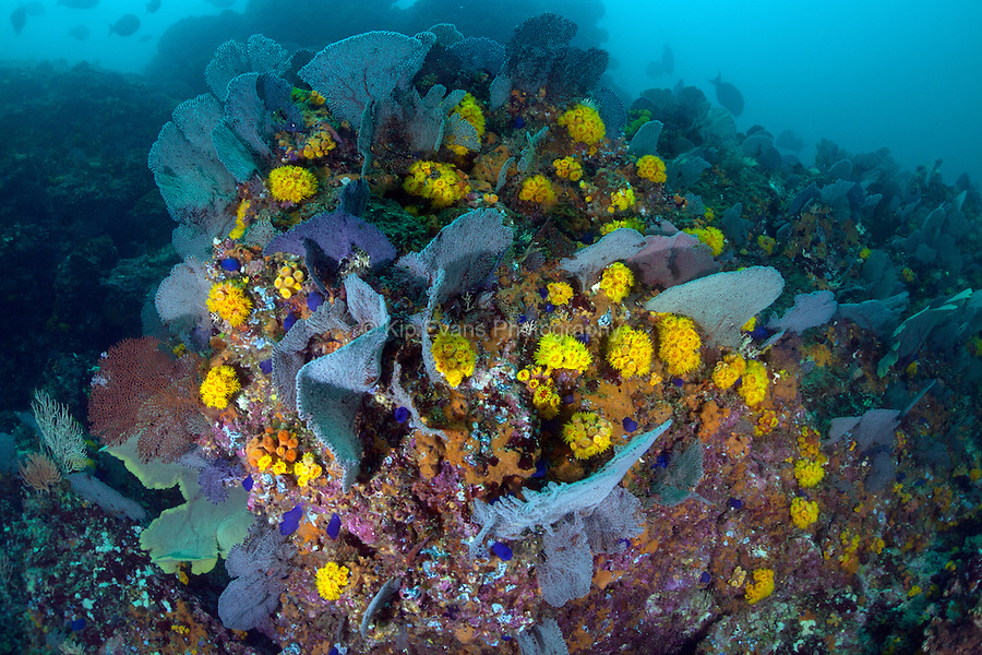 A colorful coral reef off the coast of Coiba, Panama.