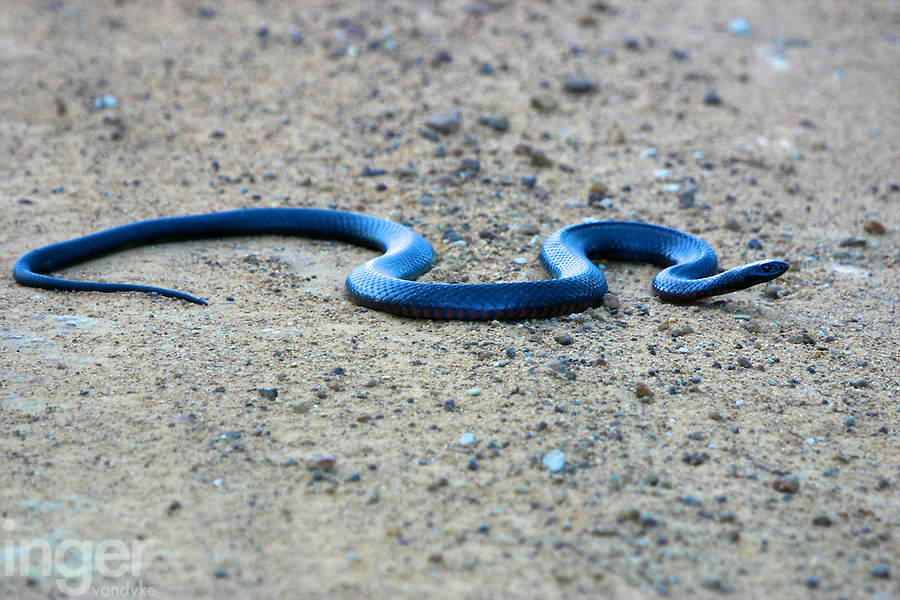 Red-bellied Black Snake in The Grampians, Victoria