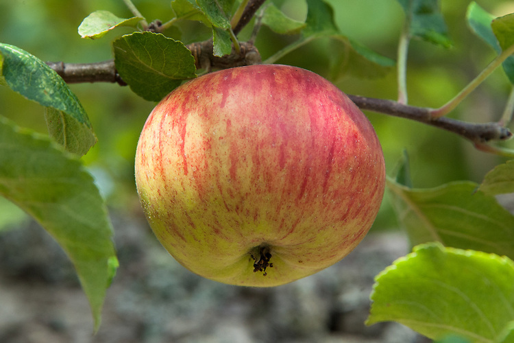 Apple 'Queen', late July. An old English culinary apple, raised in 1858 by W. Bull, a farmer from Billericay in Essex.