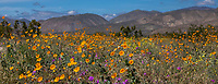 California desert spring wildflower superbloom  with Desert Sunflower, Geraea canescens, wildflowers on desert floor of Sonoran Desert at Anza Borrego California State Park on Coyote Canyon Road with Santa Rosa Mountains