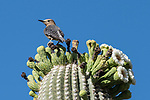 Tucson, Arizona; a Gila Woodpecker resting on cactus flowers in various stages from open to withered on top of a Saguaro Cactus in early morning sunlight