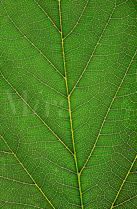 leaf. Close-up of the veins in a lea