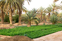 Merzouga, Morocco.  Farmer's Plot and Date Palms in the Merzouga Oasis.
