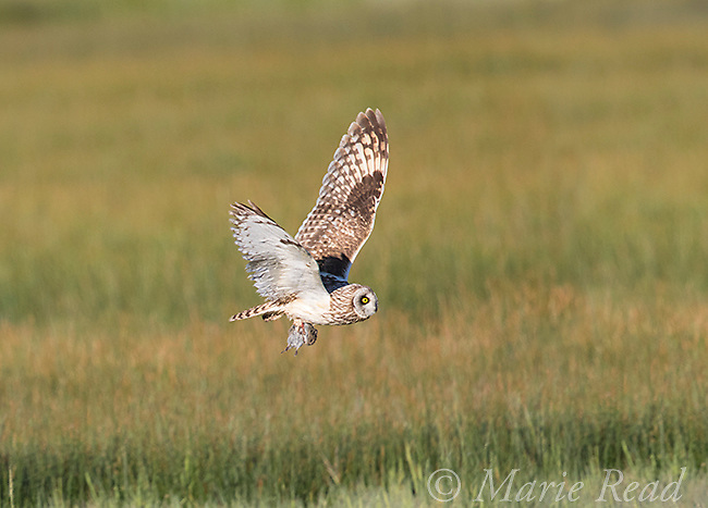 Short-eared Owl (Asio flammeus) adult male in flight carrying prey (rodent) in its talons, northern Utah, USA.
