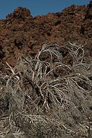 Dryed out  Teide broom plant. Parque nacional de las Cañadas,Tenerife, Canary Islands, Spain