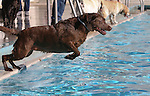 Cocoa leaps into the pool during the second annual Pooch Plunge at the Carson City Aquatic Center in Carson City, Nev., on Saturday, Sept. 18, 2010..Photo by Cathleen Allison