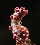 Pygmy Seahorse w Skeleton Shrimp, Hippocampus barbiganti, Indonesia 2017; Lembeh; Lembeh Straits; Macro; Marine Wildlife Behavior;