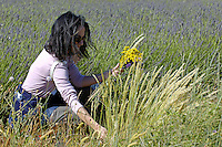 Woman kneeling while picking wildflowers in a lavender field.