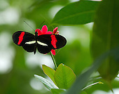 A lovely Postmanis is perched on a red flower that matches the wide red band on its forewng. Head and antennae apparent and clear.