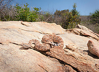 .Southwestern Speckled Rattlesnake - Crotalus mitchellii pyrrhus - Found by a friend on a herpetological survey..