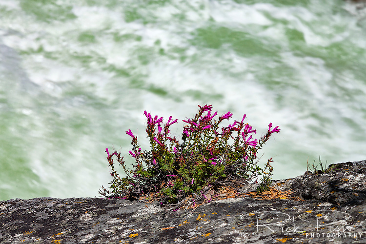 Sierra penstemon cling to a granite wall above the rushing waters of the South Fork of the Kings River in Kings Canyon National Park.