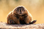 Black-tailed prairie dog, Arizona