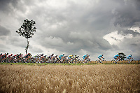 peloton plowing through the cornfields of Northren France<br /> <br /> 2014 Tour de France<br /> stage 4: Le Touquet-Paris-Plage/Lille Métropole (163km)