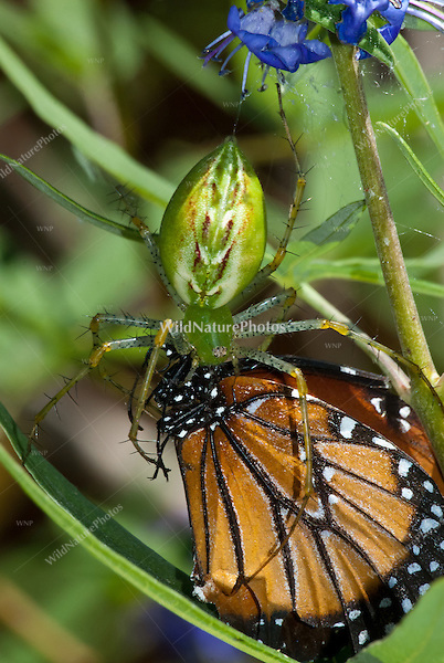 Green lynx spider (Peucetia viridans) feeding on a queen butterfly (Danaus gilippus) in a vitex bush (Vitex agnus-castus), Portal, Arizona