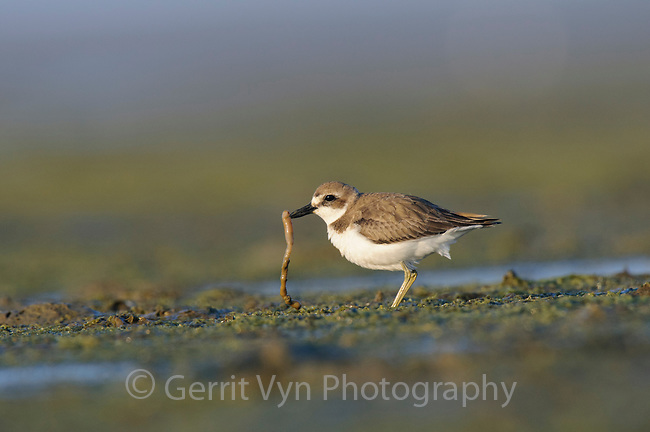 Greater Sand Plover (Charadrius leschenaultii) in winter plumage with worm prey. Rakhine State, Myanmar. January.