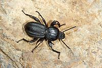 Schwarzkäfer, Scaurus striatus, darkling beetle, Schwarzkäfer, Dunkelkäfer, Tenebrionidae, darkling beetles, flour beetles, mealworm beetles