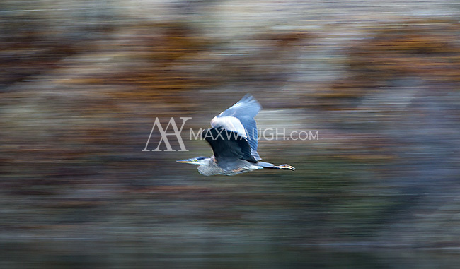 A great blue heron flies to a new perch at dusk.