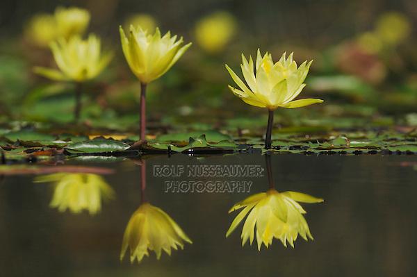 Yellow Waterlily (Nymphaea mexicana), Fennessey Ranch, Refugio, Coastal Bend, Texas, USA