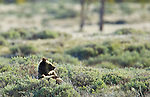 This grizzly bear cub lounges comfortably in the sagebrush while his mother hunts for newly born elk calves in Yellowstone National Park. June 4, 2011. Photo by Gus Curtis.