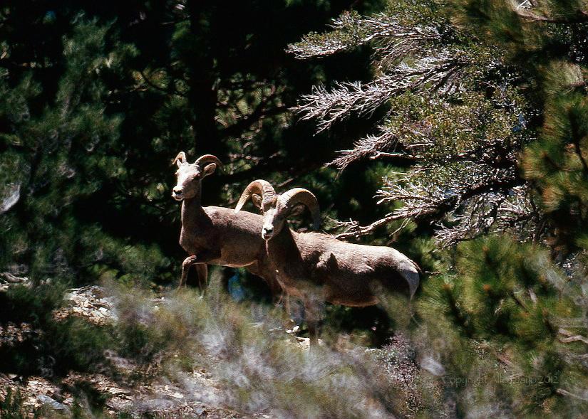 NELSON BIGHORN SHEEP<br /> SAN GORGONIO WILDERNESS <br /> CALIFORNIA
