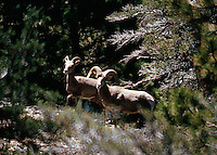 NELSON BIGHORN SHEEP<br /> SAN GORGONIO WILDERNESS <br /> CALIFORNIA