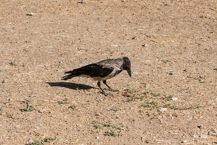 A Hooded Crow, Corvus cornix, on the grounds of the Temple Mount or  al-Haram ash-Sharif, near the Dome of the Rock Shrine.  The Old City of Jerusalem and its Walls is a UNESCO World Heritage Site.