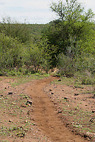 Nijlpaard (Hippopotamus amphibius) trail