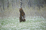 Grizzly Bear standing in a meadow during a spring snowstorm in Grand Teton National Park.