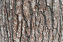 Trunk and bark of English or common oak (Quercus robur syn. Quercus pedunculata). Also called the Pedunculate oak.